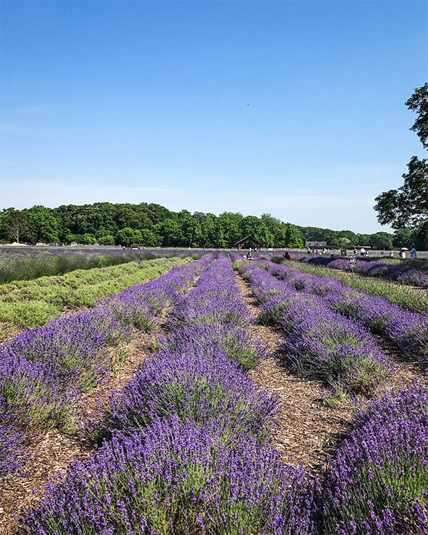 lavender by the bay lavender field